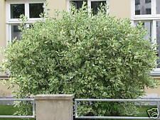 Hartriegel Cornus alba Sibirica Variegata 40-60cm bunte Laubfärbung im Herbst