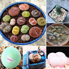 Egrow 100pcs Graine Lithops Pseudotruncatella Plant Seed Rare Potted  Stone Succ