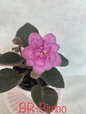 African Violet Br-Bimbo. Plant In Bloom!