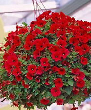 TRAILING PETUNIA - RED (1000 seeds)