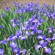 Sibirische Schwertlilie (Iris sibirica ANNICK) Teichrand * kompakt * große Blüte