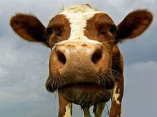 FUNNY COW FARM ANIMAL CLOSE UP PHOTO ART PRINT POSTER PICTURE BMP192A