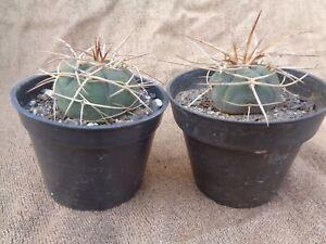 Gymnocalycium cardenasianum d=4cm 2 PLANTS Original plant in ownroot Astrophytum