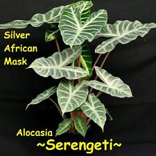 AFRICAN SILVER MASK ~SERENGETI~ Alocasia Hybrid LIVE sm potted HOUSEPLANT