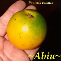 ~ABIU~ Pouteria caimito ~THE EMPEROR'S GOLDEN FRUIT~ Live small potted Plant