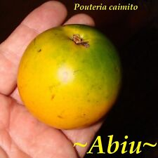 ~ABIU~ Pouteria caimito ~THE EMPEROR'S GOLDEN FRUIT~ Live small potted Plant
