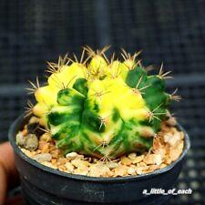 Gymnocalycium * Balance * variegata seed grow / Rare cactus