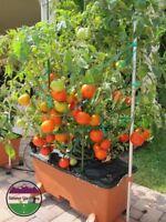USA HEIRLOOM Organic Bush Beefsteak Tomato 25-200 seeds
