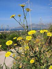 Glebionis segetum Wild Corn Marigold 200 Seeds Chrysanthemum Wildflower UKFreeP