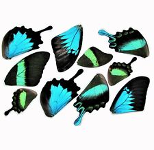 LOT OF 10 BLUE GREEN SWALLOWTIL PAPILIO BUTTERFLY WINGS WHOLESALE