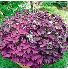 FD1545 1 Pack 2 Seeds Red Oxalis Woodsorrel Triangularis Flower Seed