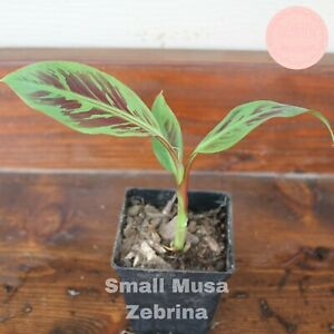 Small Musa Zebrina Blood Banana Plant