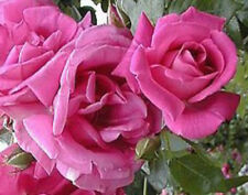 Climbing rose Morning Jewel bare rooted pink fragrant FREE DELIVERY