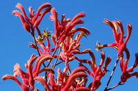 Red Kangaroo Paw Seed Drought & Frost Resistant Perennial Drought Tolerant