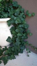 """English Ivy10 plant cuttings 6""""-8"""",Hedera helix,evergreen,plant indoor/outdoor"""