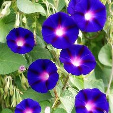 "Morning Glory ""'Grandpa Ott'"" (Ipomoea purpurea) x 20 seeds."