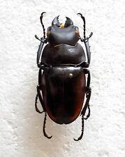 RARE LUCANIDAE: Odontolabis hitam M (Amphiodonte), Mamasa, Sulawesi Indonesia A1
