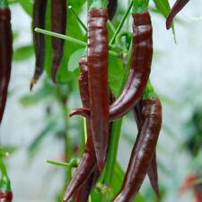 RE semi-pepper (peperoncino) CAYENNE CIOCCOLATO F1 - 6 Semi