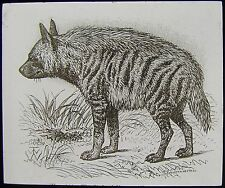 Glass Magic Lantern Slide STRIPED HYENA C1890 DRAWING
