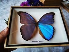 Real Butterfly Morpho Didius Insect Taxidermy Display Frame Mounted Home Decor
