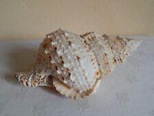 grand coquillage ( 20,5 cm de longueur )