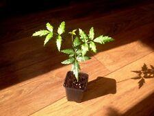 Neem tree ( Azadirachta indica ) * 1 PLANT *