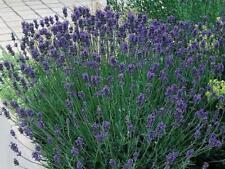 Pack x6 English Lavender Angustifolia 'Dwarf Munstead' Perennial Plug Plants