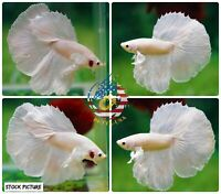 Live Betta Fish High Quality Halfmoon Platinum White Dumbo - USA Seller