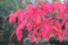 50 Graines d' Érable 'Acer triflorum Komarov' tree seeds