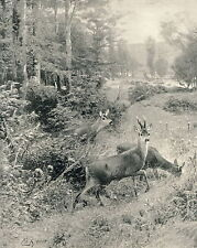 Antique c1894 KRONER c19th Sports Print STAG FEEDING Deer Stag & Does Forest