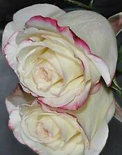 50 semi di ROSA BIANCO CREMA + OMAGGIO