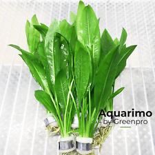 Echinodorus Amazonicus 6 Bundles Amzaon Sword Live Aquarium Plant Decoration