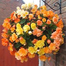 3 Trailing Begonia  Apricot Shades Basket Garden ready  Plants in 9cm Pots