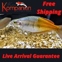 3/5/10X Boesemani Rainbow Fish Beginner Aquarium Koi Kompanion Free Shipping