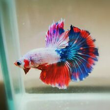 Live Betta Fish - Male - Fancy Multicolor Halfmoon (HFJUN52) (High-Grade)