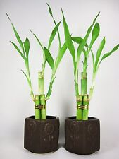 Live 3 Style Party Set of 2 Bamboo Plant Arrangement w/ Ceramic Vase Decor Gift