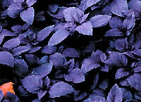 100 Basil Seeds Dark Opal Herb Seeds