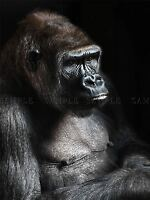 NATURE PHOTO GORILLA APE BLACK MONKEY COOL POSTER ART PRINT BB171A