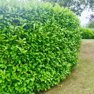 60 Cherry Laurel 35-50cm Evergreen Hedging Plants Fast Growth Supplied In Pots
