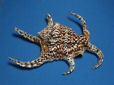 "Lambis chiragra (Linnaeus, 1758) ""EXCEPTIONAL COLOR!""  (190mm APPROXIMATELY)"