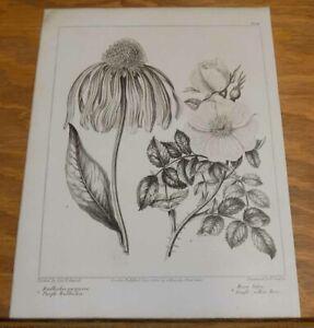 1805 Antique FLORAL Print/PURPLE RUDBECKA, SINGLE YELLOW ROSE
