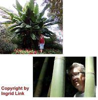 Garten Pflanzen Samen winterharte Zierpflanze Saatgut Staude BAMBUS + BANANE