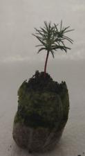 Italian Cypress, Pencil Pine, Totem Pole, Cupressus sempervirens Plug Plants.