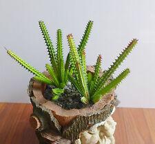 Set of 2 Cactus Column Plastic Artificial Succulents Plants(8 stems each)