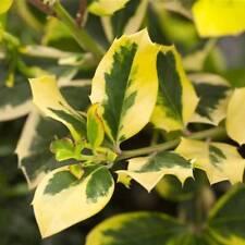 Gelbbunte Stechpalme Ilex  'Golden King' 30 - 40 cm im Topf gewachsen