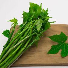 "Organic Chaya Mansa""Spinach Tree"" SpinelessCnidoscolus aconitifolius 6 Cuttings"