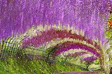 exotisches Saatgut Garten immergrüne Pflanze frosthart BLAUREGEN Kletterpflanze