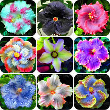 10 PCS Giant Hibiscus Flower Seeds chinese cheap flower Hibiscus seeds Mixed