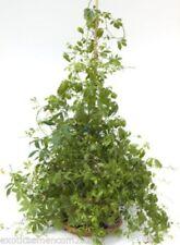 Jiaogulan - Gynostemma pentaphyllum 100 Samen