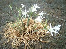 3x exotic bulbous perennials Sea Daffodil PANCRATIUM MARITIMUM flowering plant
